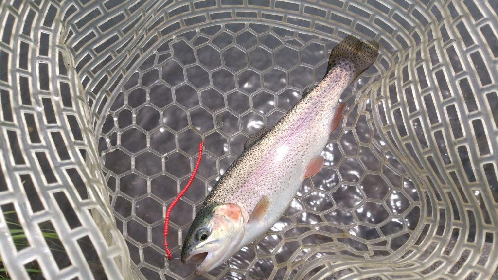 セニョールトルネード赤でニジマスが釣れている写真