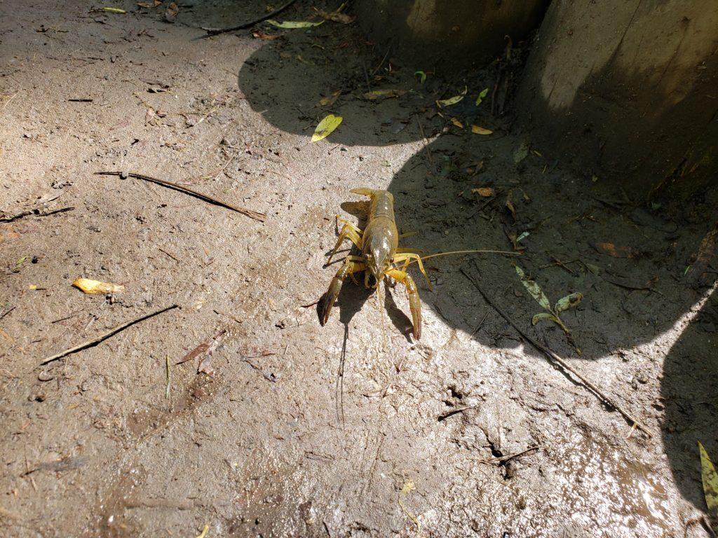 5月から6月に見られる小さいハサミの小さいザリガニ