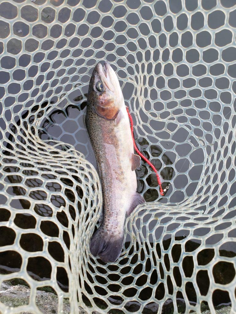 セニョールトルネード赤で釣れたニジマス